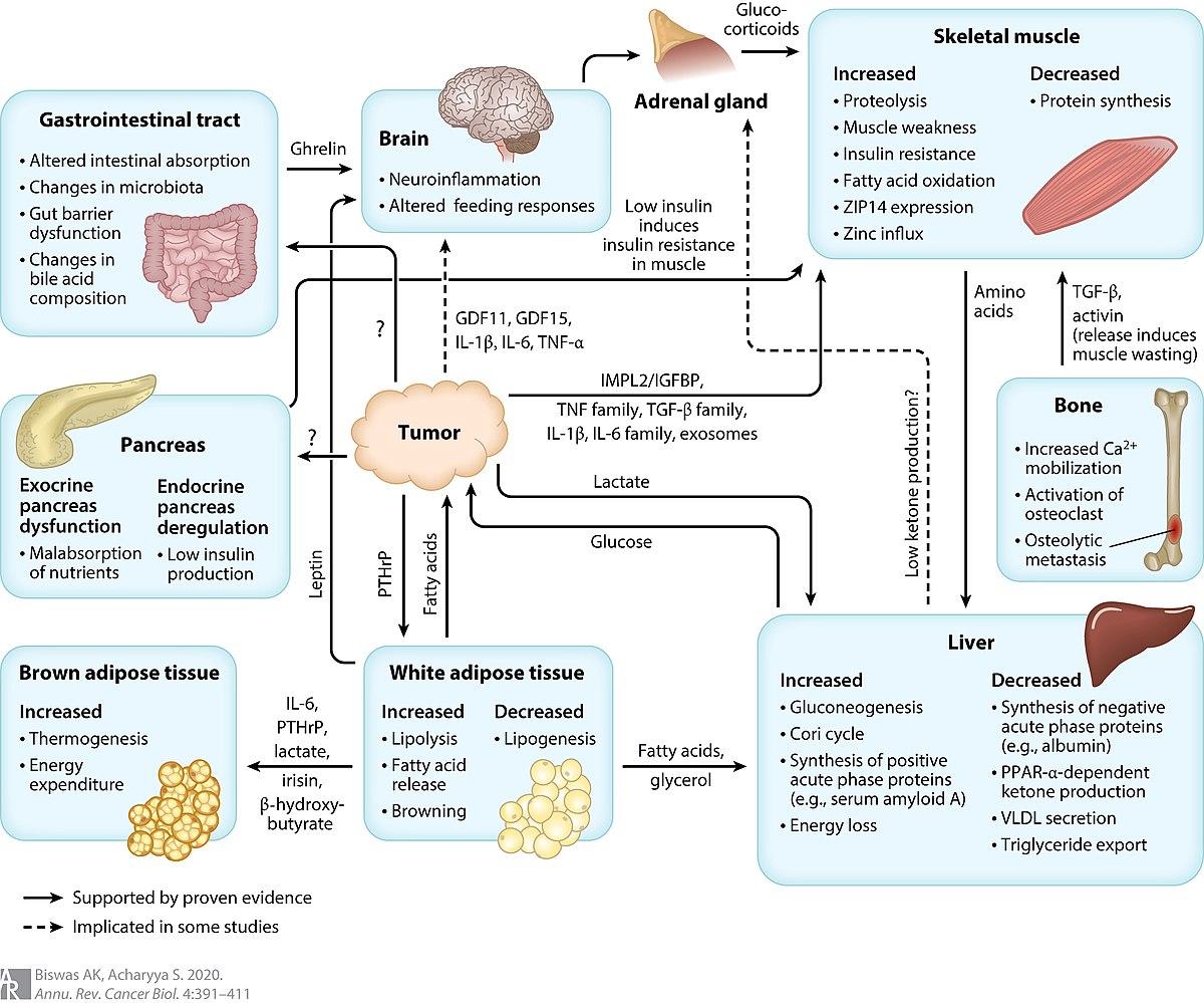 súlycsökkenés mechanizmusa a tuberkulózisban)
