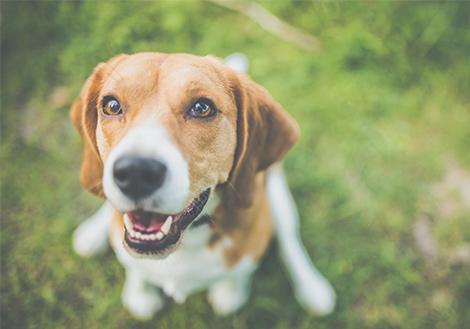 hogyan lehet fogyni beagle