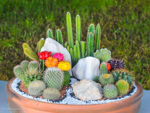 kaktusz fogyni