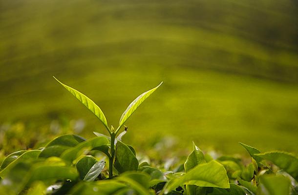 fogyókúrás tea biztonságos a szoptatáshoz)