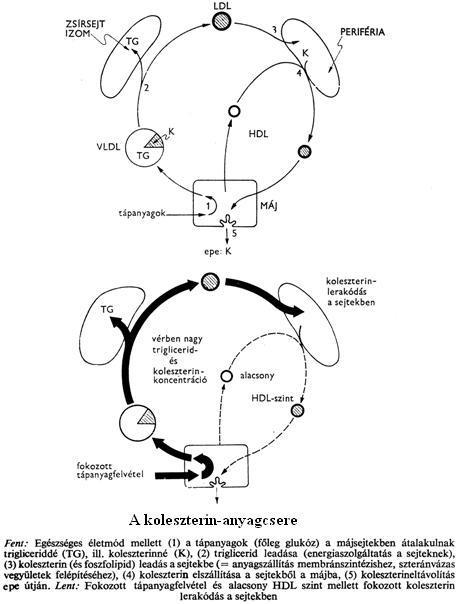 glikogén raktár kimerülés zsírvesztés)