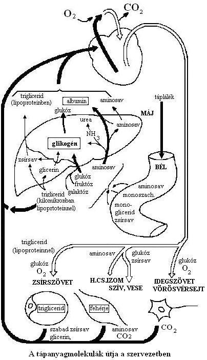 glikogén raktár kimerülés zsírvesztés
