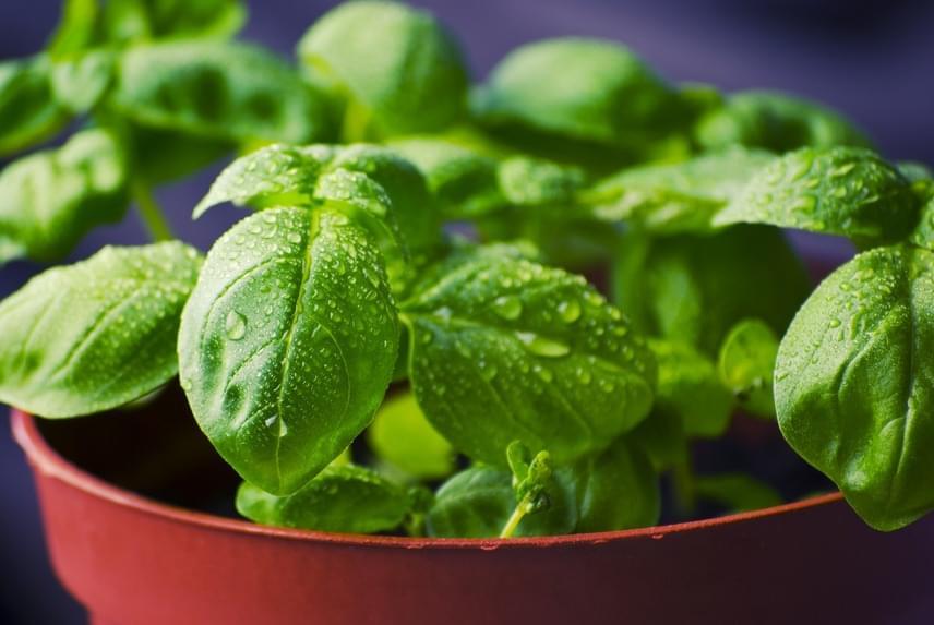 Bazsalikom kalória – Lehet fogyni bazsalikommal?