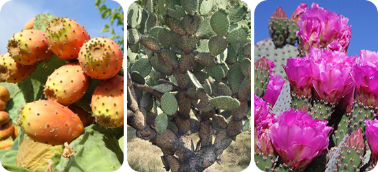 kaktusz jó fogyni)