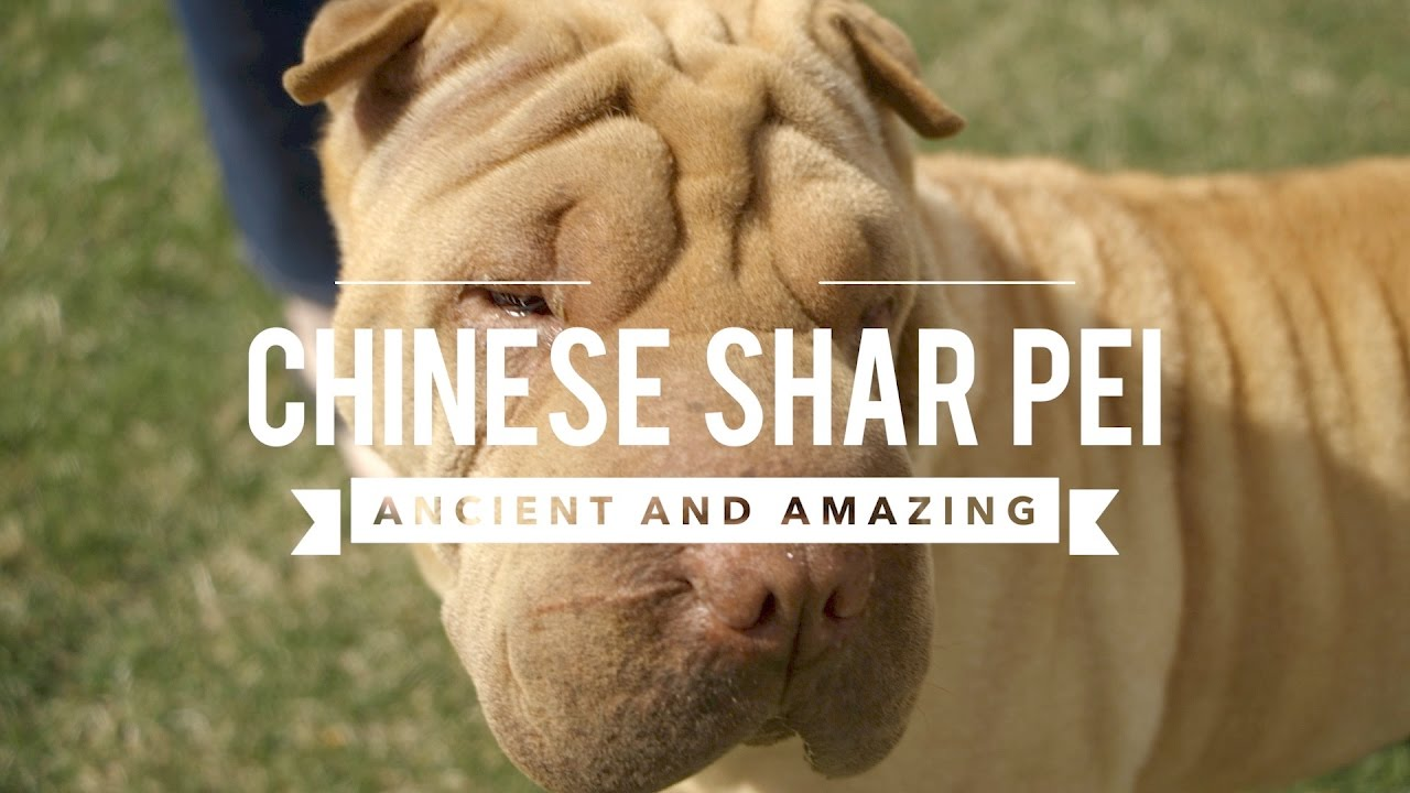 Shar-pei World - Index Fórum