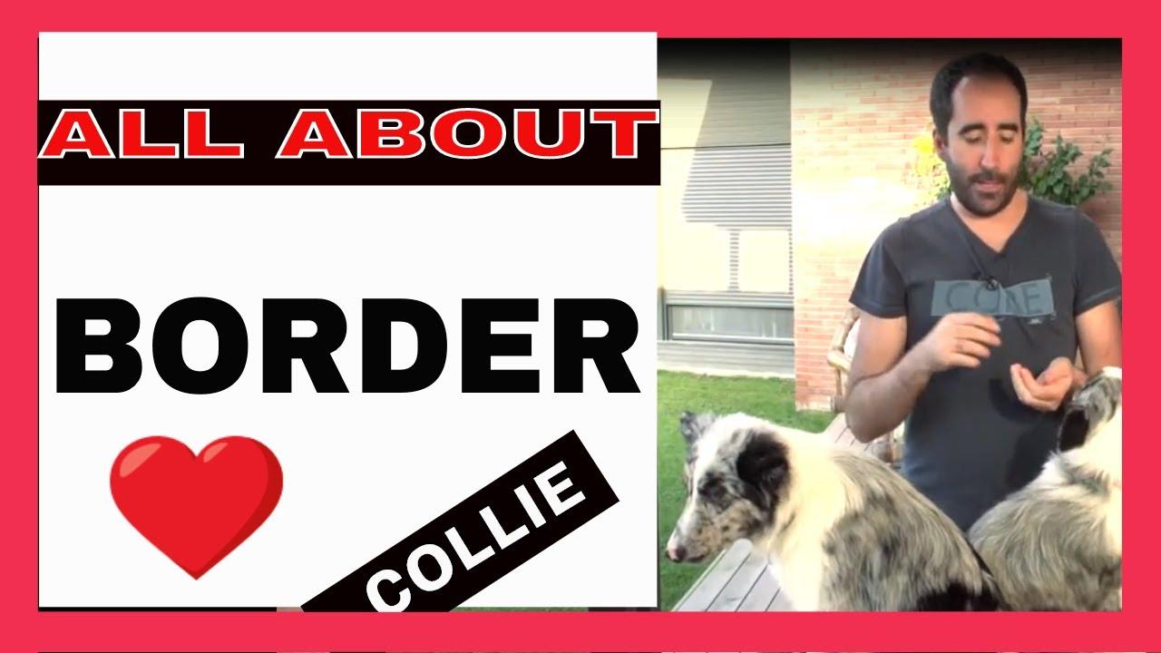 border collie fogyni