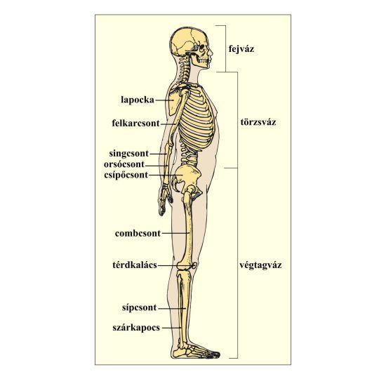 csontváz fogyás)