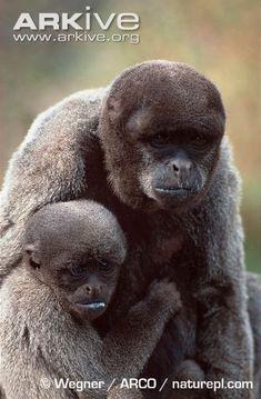 gorilla labs zsírégető)