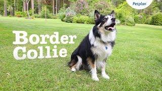 border collie fogyni)